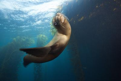 Californian Sea Lion, Zalophus Californianus, Cedros Iceland, Mexico