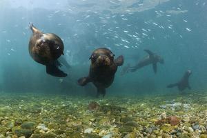 Californian Sea Lions, Zalophus Californianus, San Benito Island, Mexico by Reinhard Dirscherl