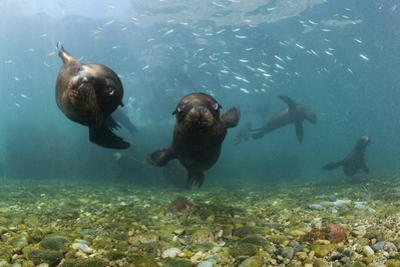 Californian Sea Lions, Zalophus Californianus, San Benito Island, Mexico