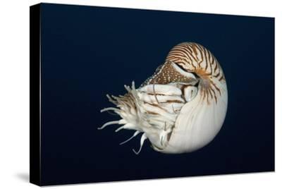 Chambered Nautilus (Nautilus Belauensis), Micronesia, Palau
