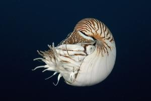 Chambered Nautilus (Nautilus Belauensis), Micronesia, Palau by Reinhard Dirscherl