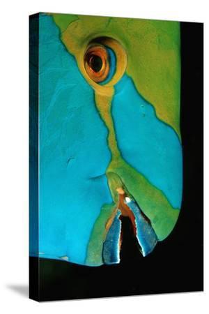 Close-Up of a Greentroat Parrotfish Head