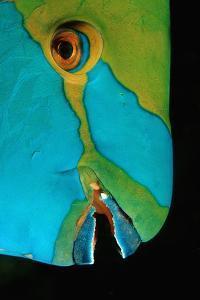 Close-Up of a Greentroat Parrotfish Head by Reinhard Dirscherl