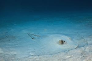 Cowtail Sting Ray Camouflaged on the Sandy Ocean Floor (Pastinachus Sephen) by Reinhard Dirscherl