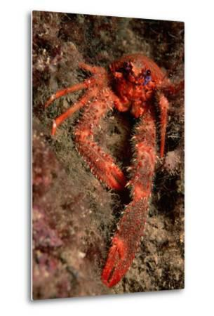 Crab (Galathea Strigosa).