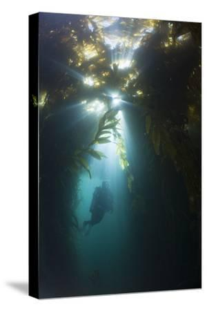 Diving in Kelp Wood, Macrocystis Pyrifera, San Benito Island, Mexico