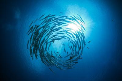 Dream Blackfin Barracuda, Sphyraena Qenie, Mary Island, the Solomon Islands by Reinhard Dirscherl