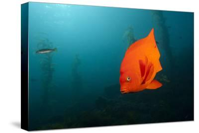 Garibaldifisch, Hypsypops Rubicundus, San Benito Island, Mexico