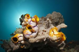 Gold-Sea Squirts in the Reef, Polycarpa Aurata, Ambon, the Moluccas, Indonesia by Reinhard Dirscherl