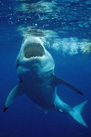 Great White Shark, Carcharodon Carcharias, Mexico, Pacific Ocean, Guadalupe by Reinhard Dirscherl