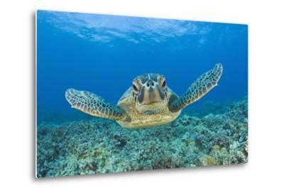 Green Turtle (Chelonia Mydas), Maui, Hawaii, USA