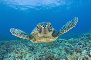 Green Turtle (Chelonia Mydas), Maui, Hawaii, USA by Reinhard Dirscherl