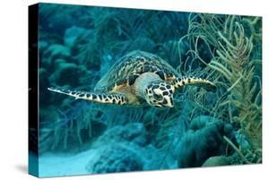Hawksbill Sea Turtle, Eretmochelys Imbricata, Martinique, French West Indies, Caribbean Sea by Reinhard Dirscherl