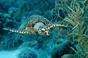 Hawksbill Sea Turtle, Eretmochelys Imbricata, Martinique, French West Indies, Caribbean Sea by Reinhard Dirscherl