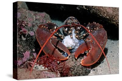 Homarus Gammarus.Lobster. Atlantic Ocean, Norway