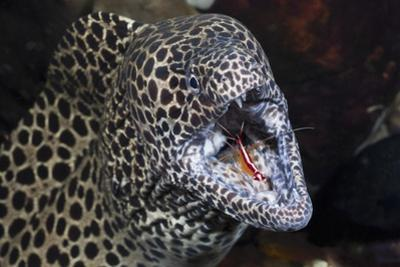 Honeycomb Moray Eel (Gymnothorax Favagineus) Being Cleaned by a White-Banded Cleaner Shrimp (Lysmat