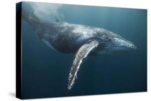 Humpback Whale (Megaptera Novaeangliae) by Reinhard Dirscherl