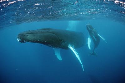 Humpback Whale by Reinhard Dirscherl