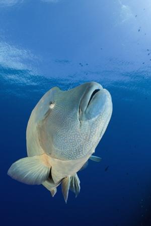 Humpback Wrasse (Cheilinus Undulatus), Blue Corner, Micronesia, Palau by Reinhard Dirscherl