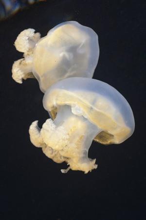 Jellyfish (Mastigias Papua Etpisonii), Jellyfish Lake, Micronesia, Palau by Reinhard Dirscherl