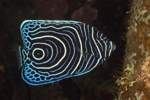 Juvenile Emperor Angelfish (Pomacanthus Imperator), Alam Batu, Bali, Indonesia by Reinhard Dirscherl