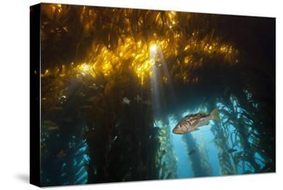 Kelp Bass Saw Perch, Paralabrax Clathratus, San Benito Island, Mexico