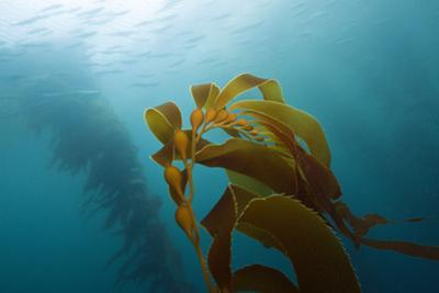 Kelp Wood Gigantic Seaweed, Macrocystis Pyrifera, San Benito Island, Mexico