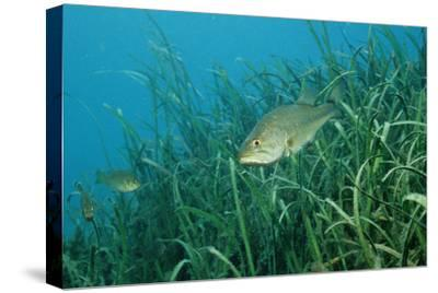 Largemouth Bass, Micropterus Salmoides, Usa, Florida, FL