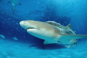 Lemon Shark, Negaprion Brevirostris, Bahamas, Grand Bahama Island, Atlantic Ocean by Reinhard Dirscherl