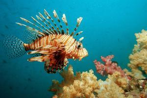 Lionfish or Turkeyfish (Pterois Volitans), Indian Ocean, Andaman Sea. by Reinhard Dirscherl