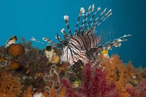Lionfish (Pterois Volitans), Raja Ampat, West Papua, Indonesia by Reinhard Dirscherl