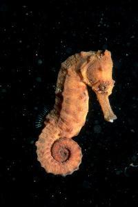 Longsnout Seahorse (Hippocampus Reidi), Pacific Ocean. by Reinhard Dirscherl