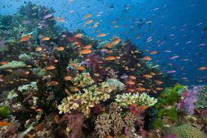 Lyretail Anthias (Pseudanthias Squamipinnis) in Coral Reef by Reinhard Dirscherl