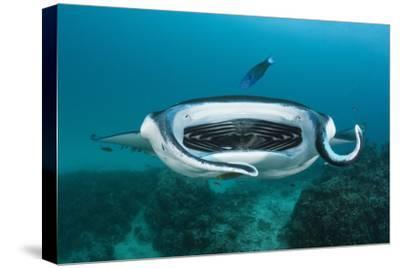 Manta Ray Filter Feeding over a Cleaning Station