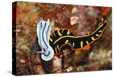 Marine Flatworm and a Sea Slug or Nudibranch (Chromodoris Willani)