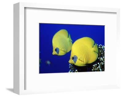 Masked Butterflyfish Egypt, Africa, Red Sea. (Chaetodon Semilarvatus)