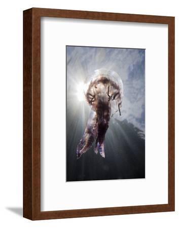 Mauve Stinger Jellyfish (Pelagia Noctiluca), Cap De Creus, Costa Brava, Spain