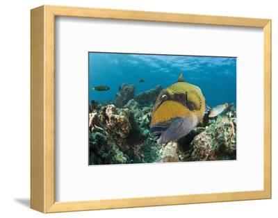 Moustache Triggerfish