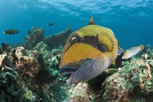 Moustache Triggerfish by Reinhard Dirscherl