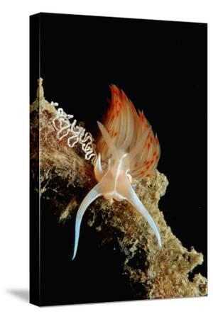 Nudibranch Laying Eggs (Godiva Banyulensis), Mediterranean Sea.