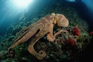 Octopus (Octopus Vulgaris) by Reinhard Dirscherl