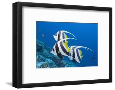 Pennant Bannerfish (Heniochus Diphreutes)