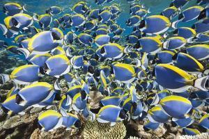 Powder Blue Tang (Acanthurus Leucosternon) by Reinhard Dirscherl