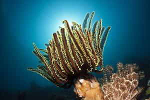 Prachthaarstern in the Reef, Oxycomanthus Bennetti, Ambon, the Moluccas, Indonesia by Reinhard Dirscherl
