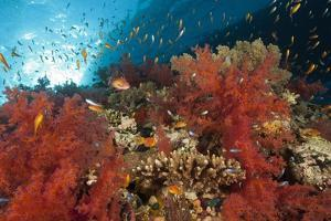 Red Soft Corals (Dendronephthya) by Reinhard Dirscherl