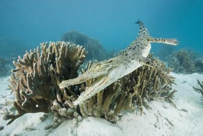 Saltwater Crocodile Swimming near a Coral Reef (Crocodylus Porosus), Micronesia, Palau by Reinhard Dirscherl