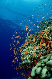 Schooling Lyretail Anthias and near a Coral Reef. (Pseudanthias Squamipinnis) Red Sea by Reinhard Dirscherl