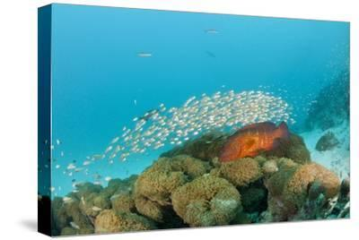 Schoolof Pygmy Sweepers and a Coral Grouper