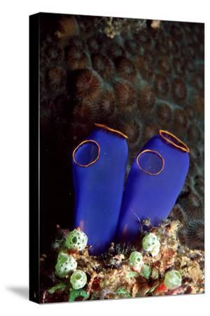 Sea Squirt Tunicates (Ascidia), Pacific Ocean, Panglao Island.