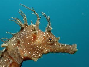 Seahorse Head (Hippocampus Guttulatus). by Reinhard Dirscherl